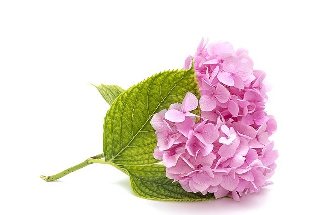 pink-hydrangea-3182775_640